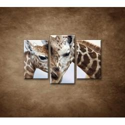 Obrazy na stenu - Žirafy - 3dielny 75x50cm