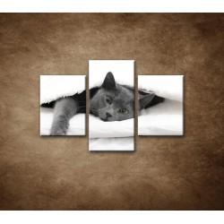Obrazy na stenu - Odpočívajúca mačka - 3dielny 90x60cm