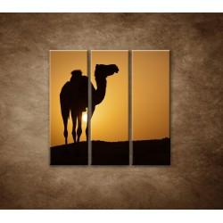 Obrazy na stenu - Ťava na Sahare - 3dielny 90x90cm