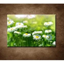 Obraz - Kvety sedmokrásky