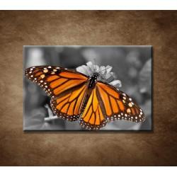 Obraz - Oranžový motýľ