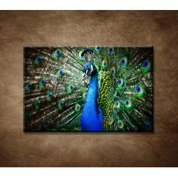 Obrazy na stenu - Páv
