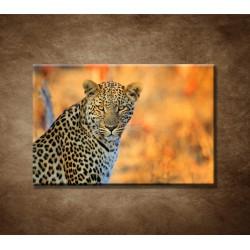Africký leopard