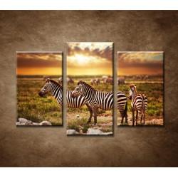 Obrazy na stenu - Zebry - 3dielny 75x50cm
