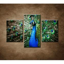 Obrazy na stenu - Páv - 3dielny 90x60cm