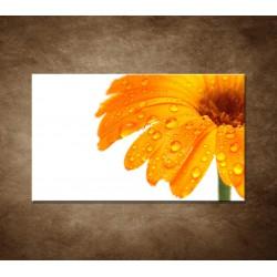 Oranžová gerbera