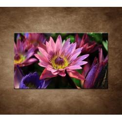 Obraz - Lotosové kvety