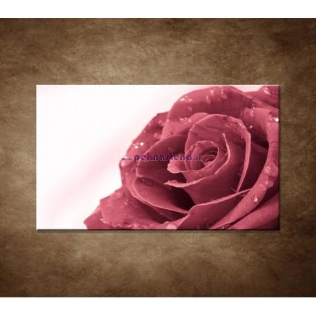 Obraz na stenu - Ruža s rosou