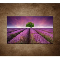 Obrazy na stenu - Levanduľové pole