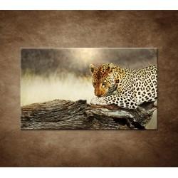 Obrazy na stenu - Odpočívajúci leopard