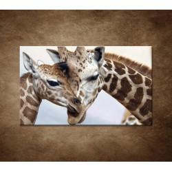 Obraz - Žirafy