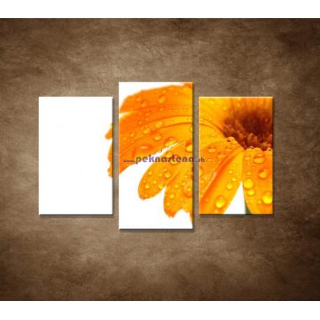 Obrazy na stenu - Oranžová gerbera - 3dielny 75x50cm