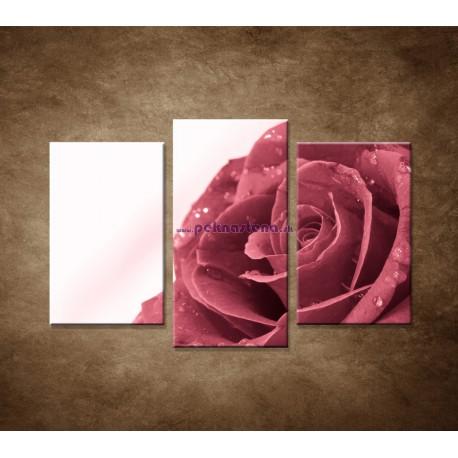 Obrazy na stenu - Ruža s rosou - 3dielny 75x50cm