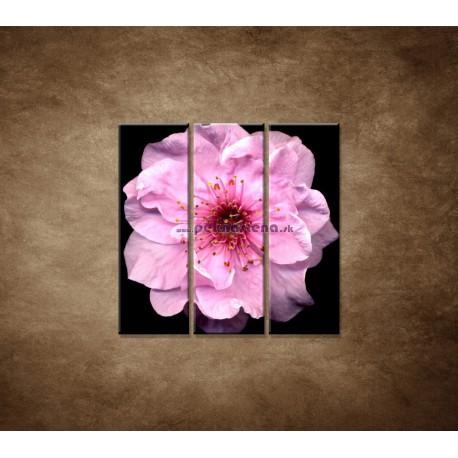 Obrazy na stenu - Kvet čerešne - 3dielny 90x90cm
