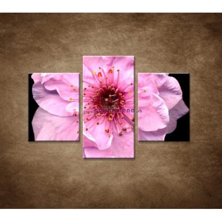 Obrazy na stenu - Kvet čerešne - 3dielny 90x60cm